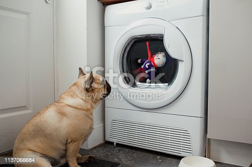 A French bulldog sitting in front of a washing machine looking at his teddy inside through the glass.