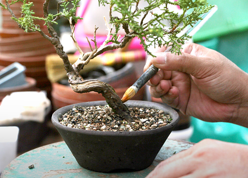 How To Apply Lime Sulfur To Preserve Deadwood In Bonsai Tree Will Be Demonstrating The Application