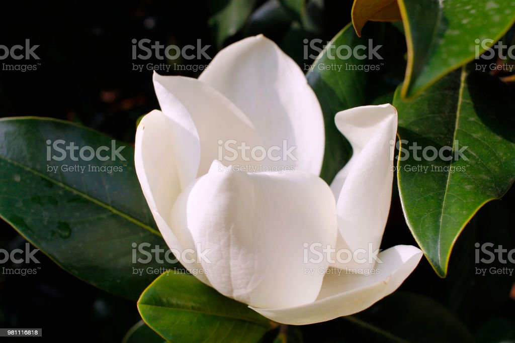 How To Grow Magnolia Trees From Seed Stock Photo More Pictures Of