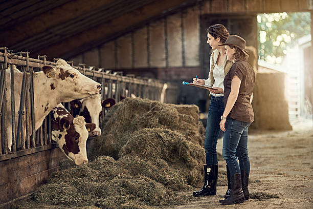 How would you rate the quality of your hay today? Shot of two female farmers taking care of their cattle in the barn female animal stock pictures, royalty-free photos & images