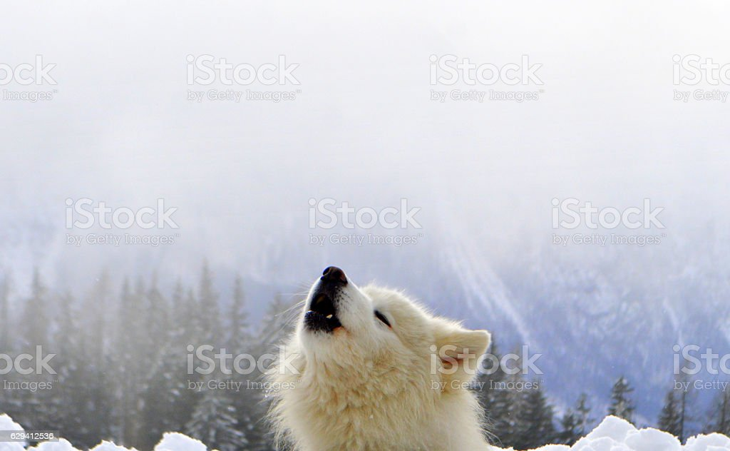 Howl like a wolf stock photo