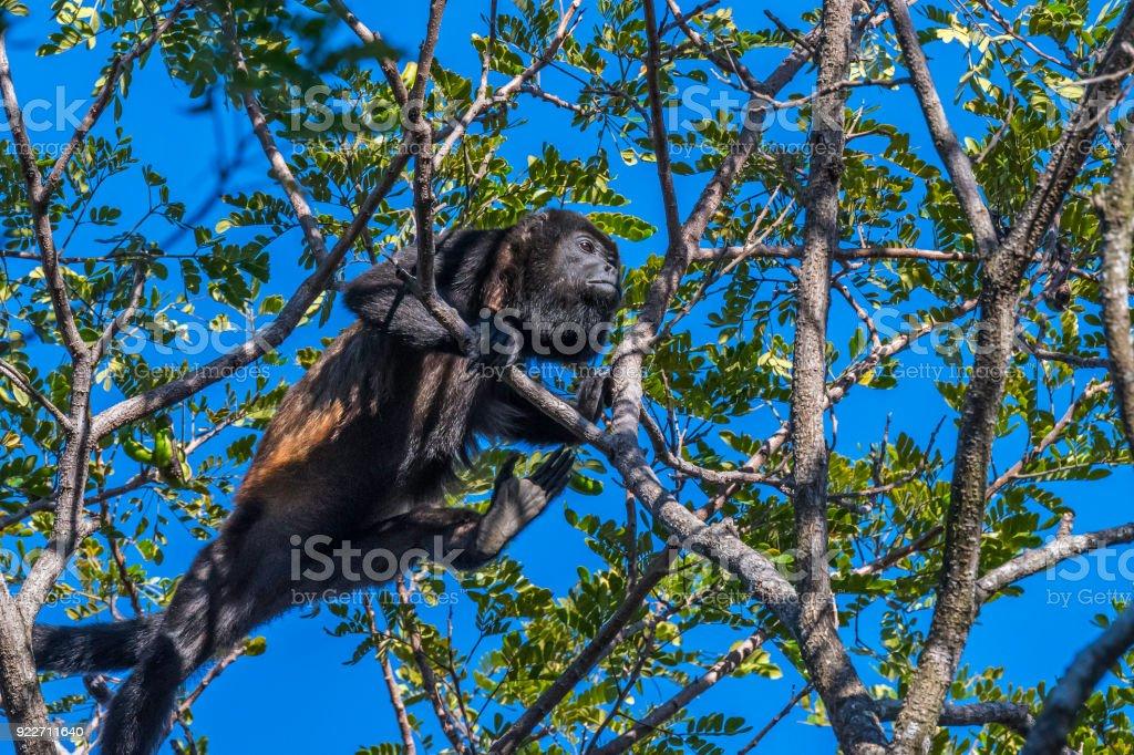 Howler monkey climbing stock photo