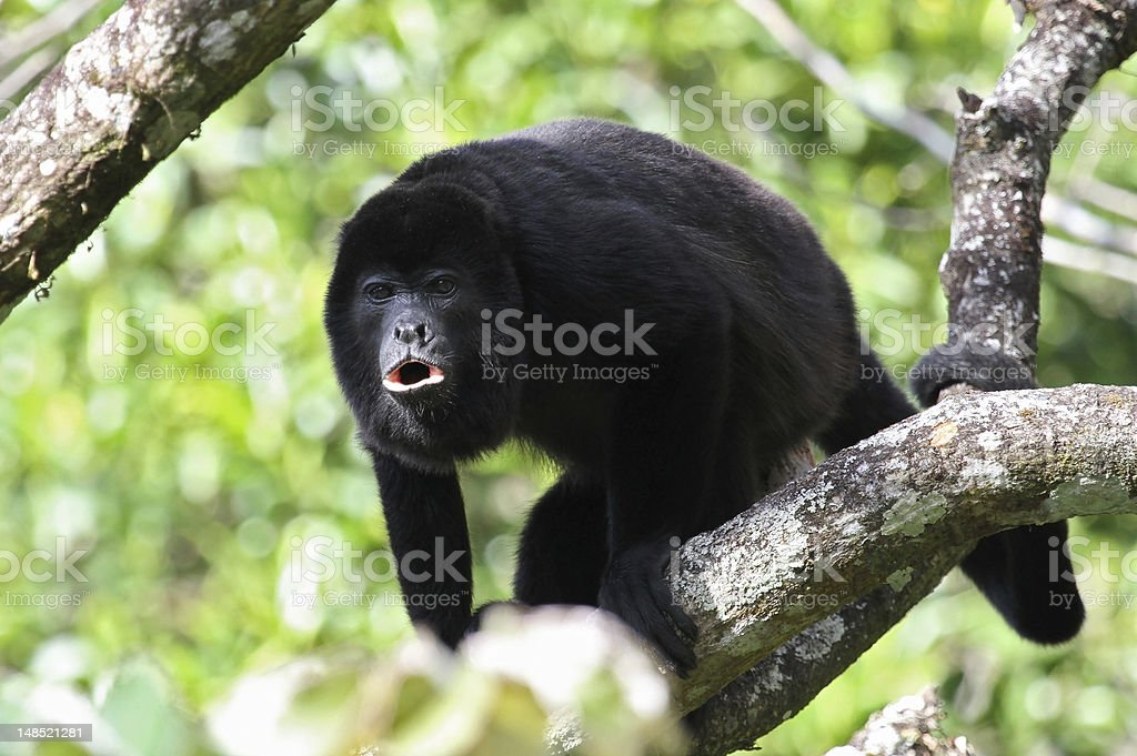Howler Monkey Howling stock photo