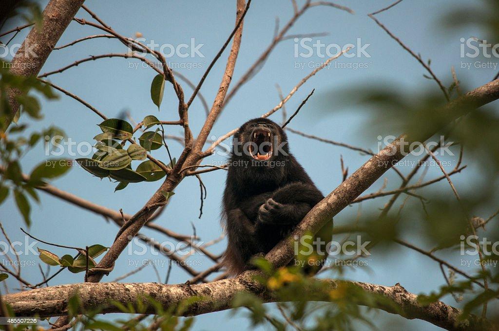 Howler Monkey Howling, Playa Grande, Costa Rica stock photo