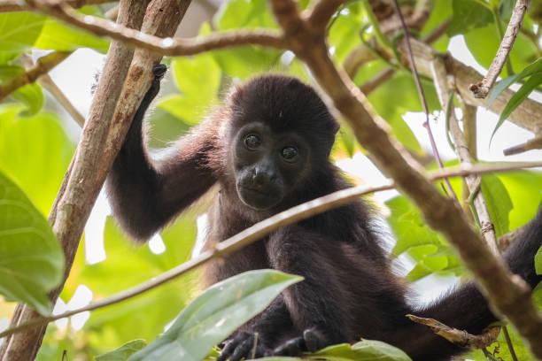 Howler monkey in Costa Rica stock photo