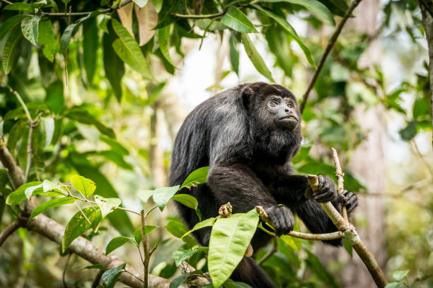 Howler Monkey In Forest stock photo