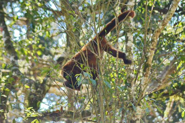 howler monkey in the wild - bugio imagens e fotografias de stock