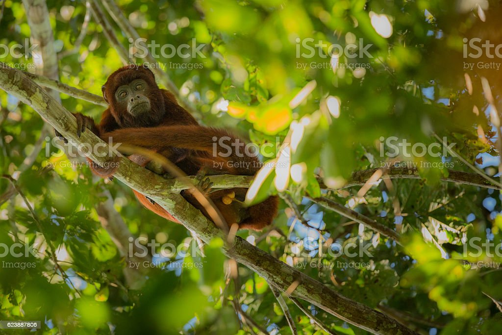 howler monkey on a tree in the nature habitat stock photo