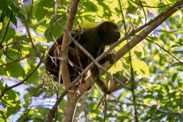 howler monkey photographed  in domingos martins, espirito santo. - bugio imagens e fotografias de stock