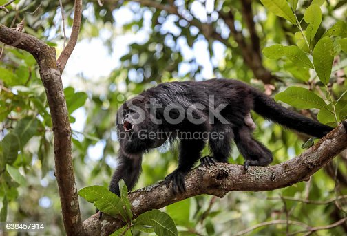 A Black Howler monkey is standing on a tree branch in a rain forest in Belize ,which is in Central America on the Caribbean Sea. They are called howlers because of the howling sound they make. Shot taken with Canon 5D Mark lV.