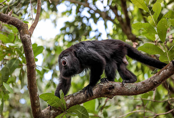 Howler monkey standing on a tree branch in Belize rainforest stock photo