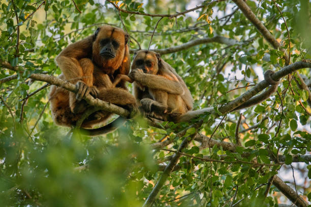howler monkeys really high on a giant tree in brazilian jungle - bugio imagens e fotografias de stock