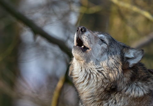 Close shot of a howling canadian timberwolf.