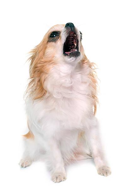 howling chihuahua in studio stock photo