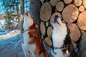 Howling dogs on background woodpile. Side view howling siberian husky heads.