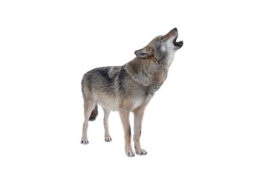 howling gray wolf isolated on white background