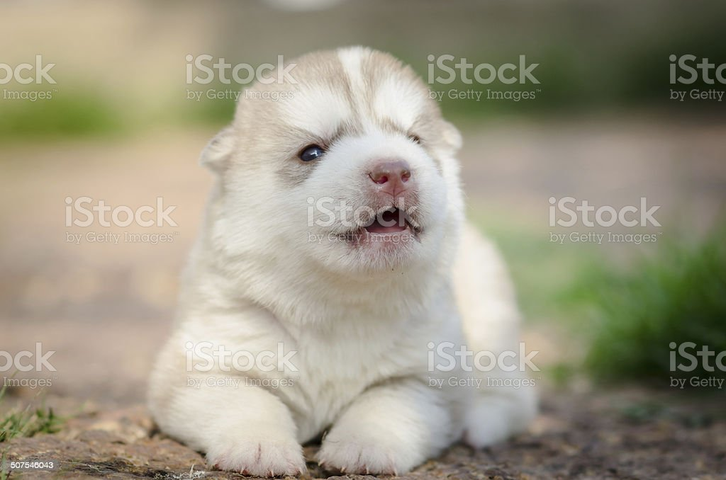 Howling Puppy Siberian Husky Stock Photo More Pictures Of