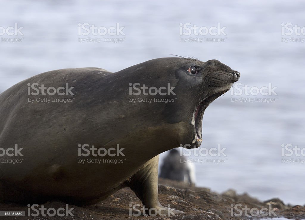 Howling sea lion royalty-free stock photo