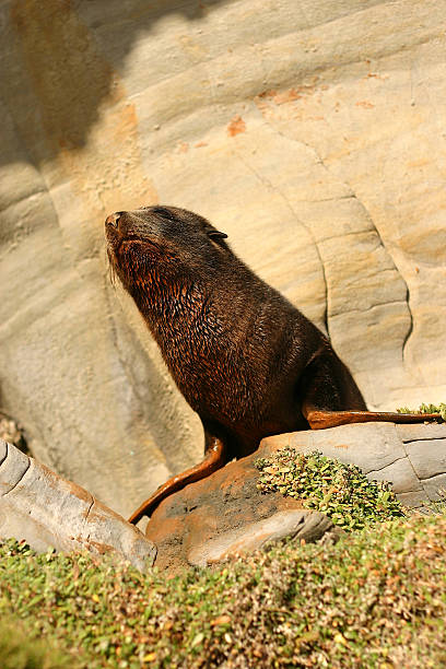 Howling Seal Pup stock photo