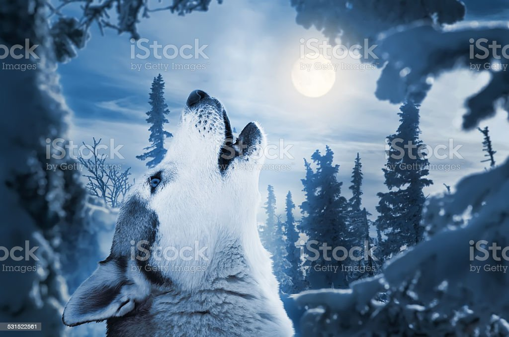 howling to the moon stock photo