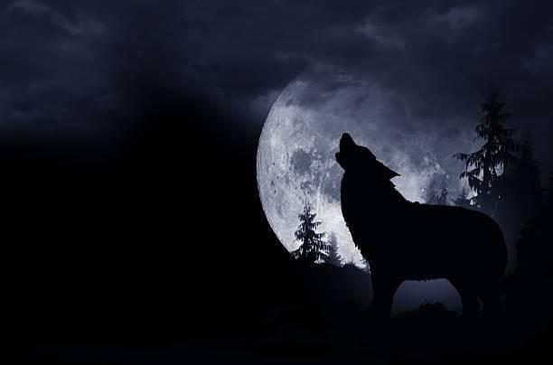 howling wolf background - varg bildbanksfoton och bilder