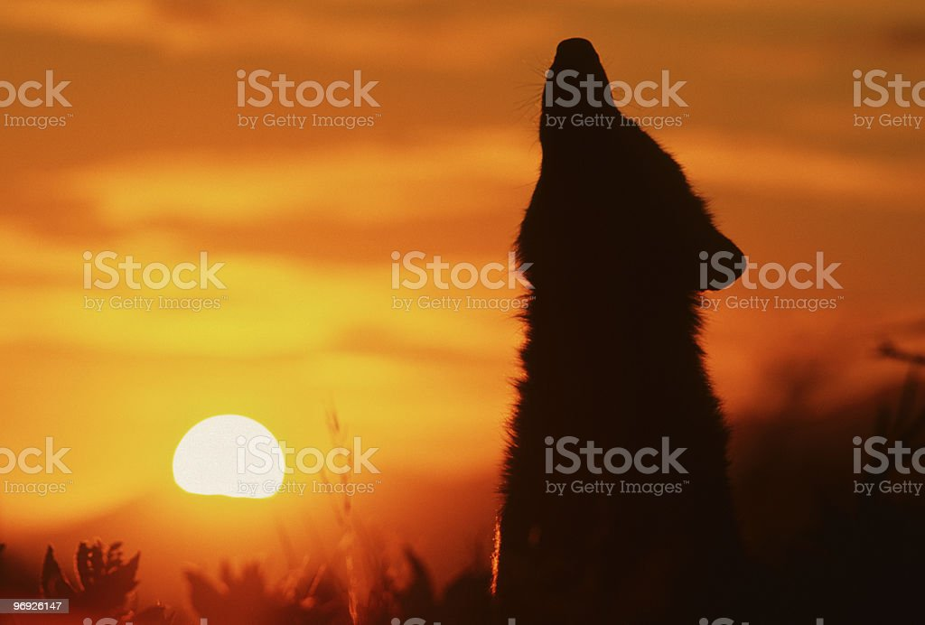 Howling Wolf in Sunrise royalty-free stock photo