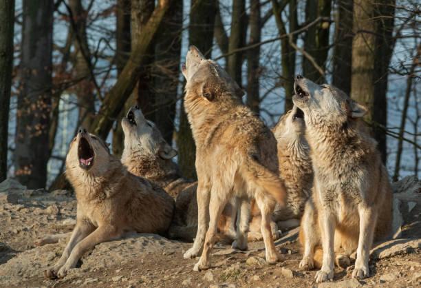 howling wolf pack - wolf bildbanksfoton och bilder