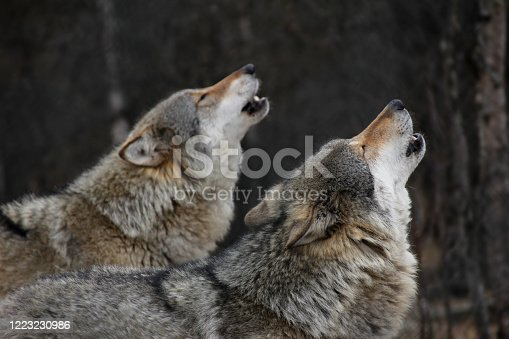 Howling wolves in Norway