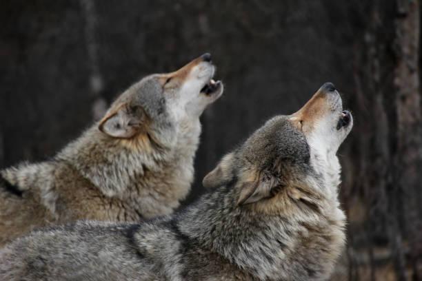 ylande vargar - varg bildbanksfoton och bilder