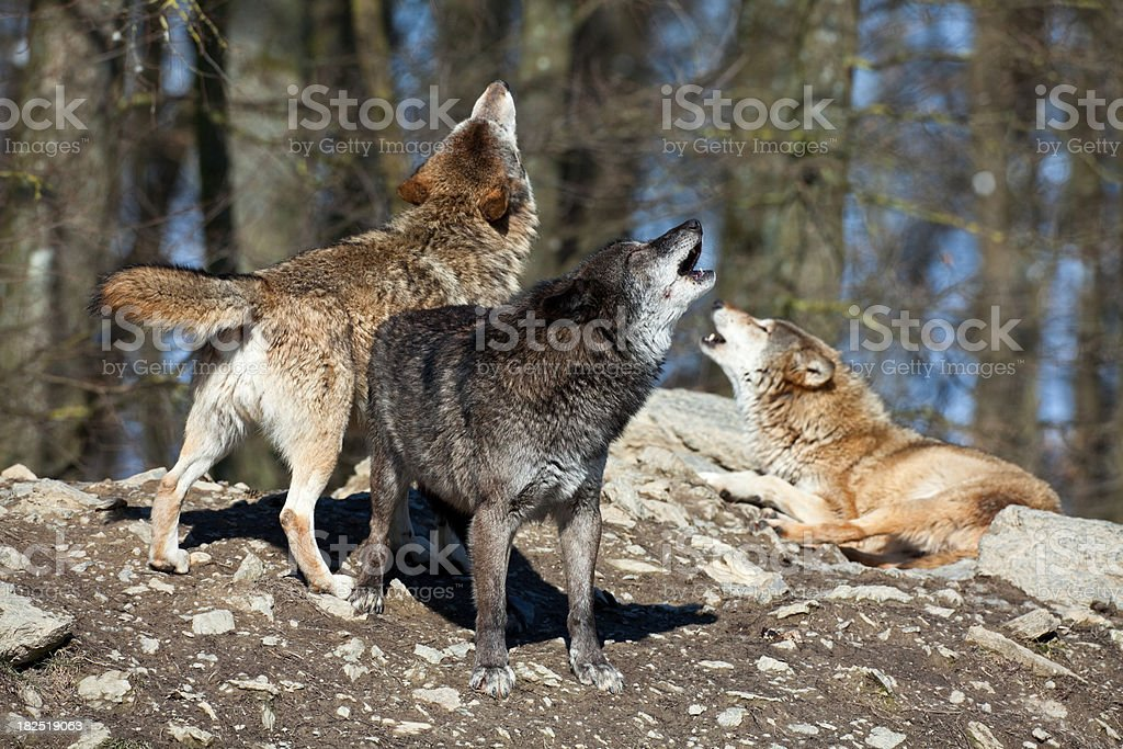 Howling Wolves XXXL royalty-free stock photo