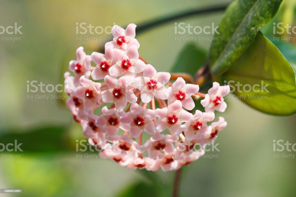 Hoya carnosa - Royalty-free Close-up Stock Photo
