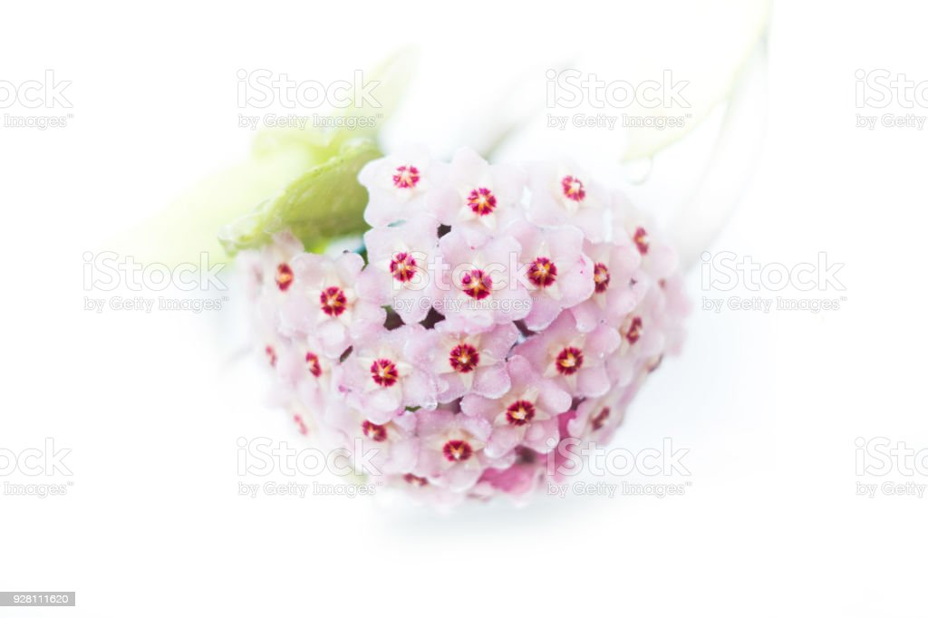 Hoya flowers stock photo