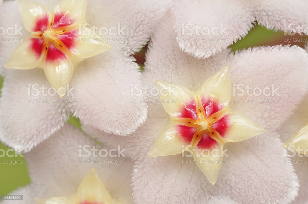Hoya Flowers - Royalty-free Blossom Stock Photo