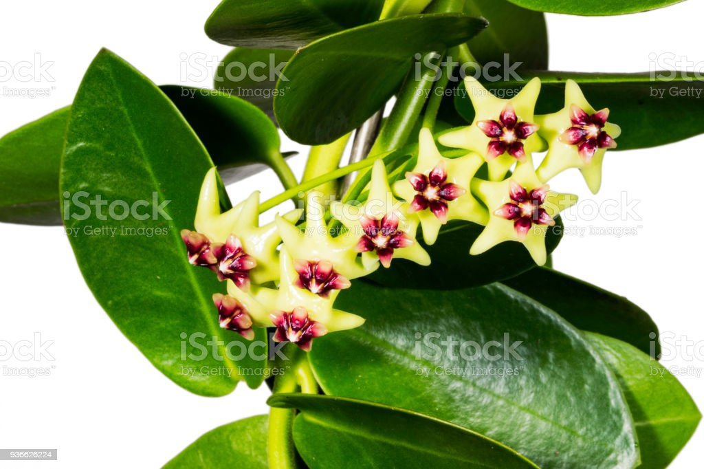 Hoya is an Asclepiad genus of 200–300 species of tropical plants in the family Apocynaceae stock photo