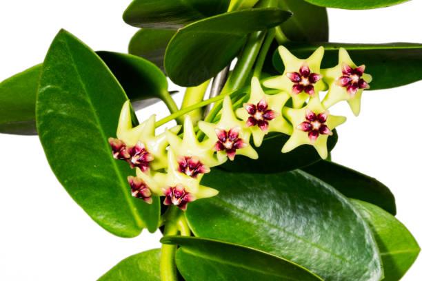 hoya ist ein asclepiad gattung von 200-300 arten tropischer pflanzen in der familie lobelia - wachsblume stock-fotos und bilder