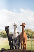 Three Alpacas, Black, White and Brown