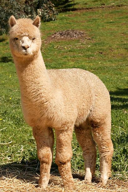 huacaya alpaca (vicugna pacos - alpaca fotografías e imágenes de stock