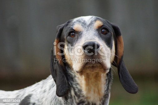 Hubert the Bluetick Coonhound.