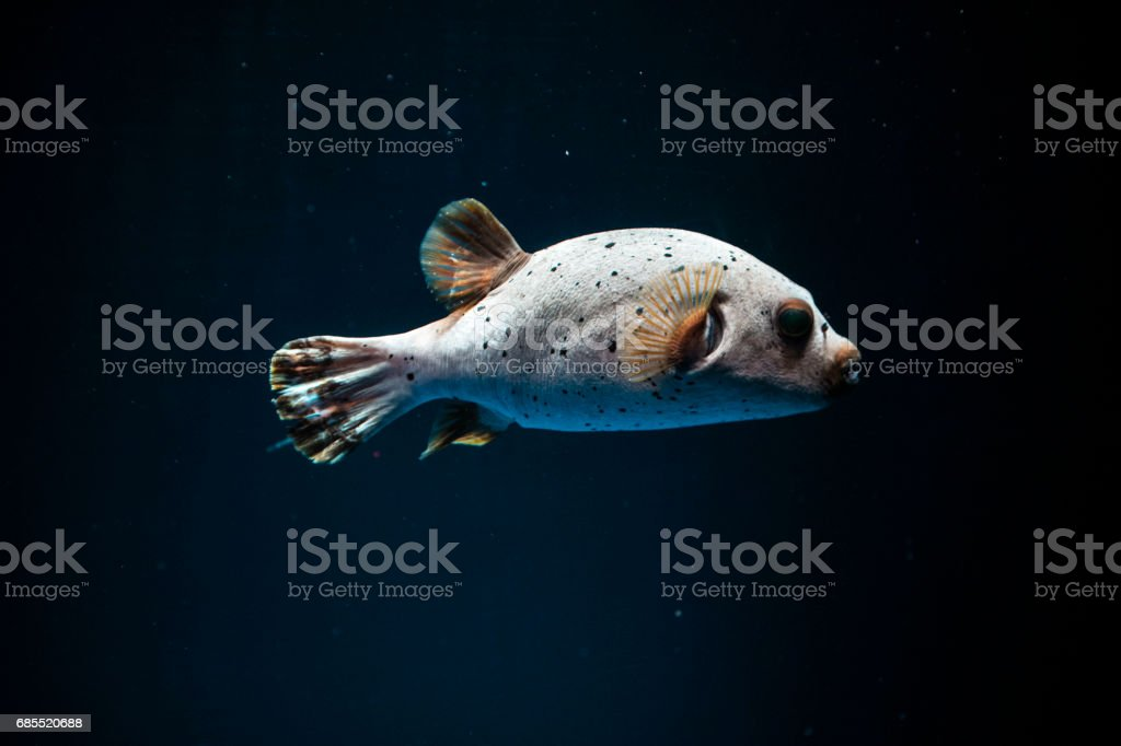 Huchback fish 免版稅 stock photo