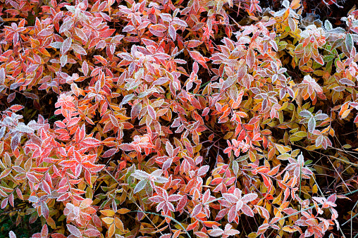 Huckleberry leaves in autumn colours