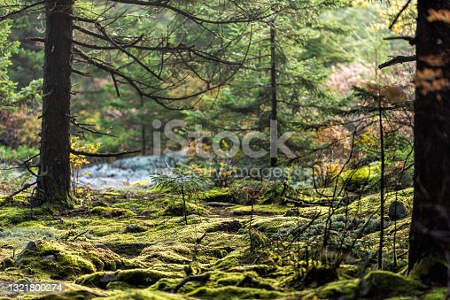 istock Huckleberry trail in Seneca Rocks hiking with moss forest in Spruce Knob mountain fall autumn season with morning sunlight in West Virginia 1321800274
