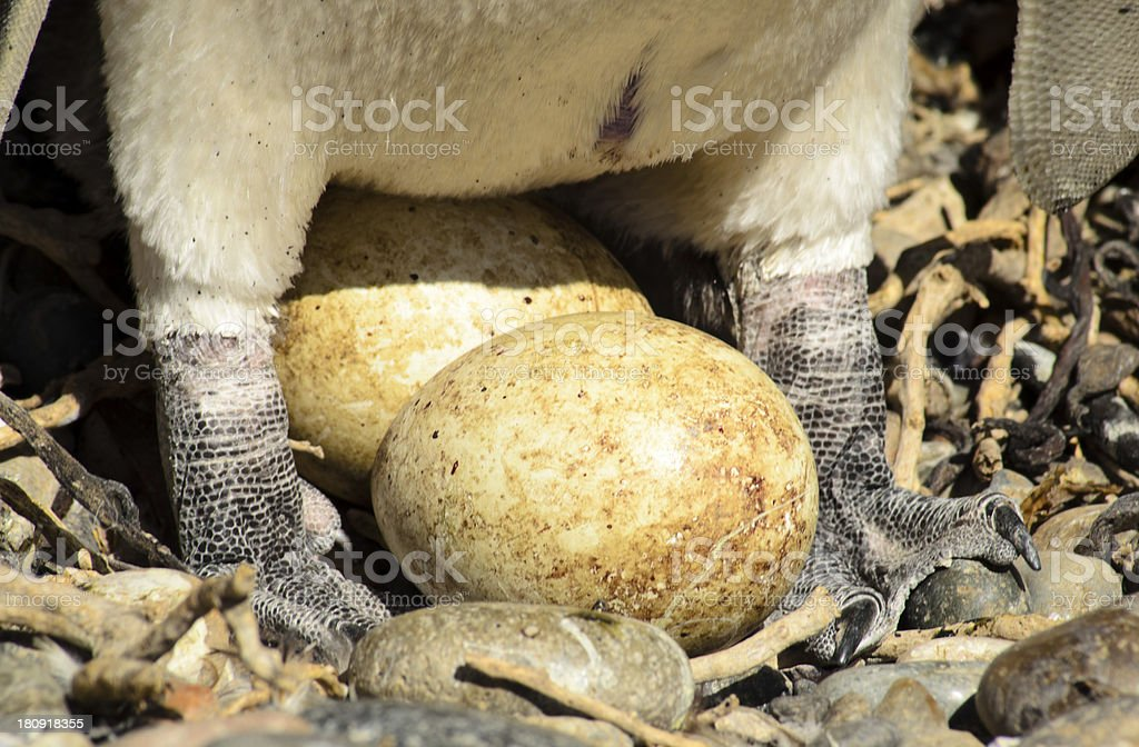 Huevo de Pinguino stock photo