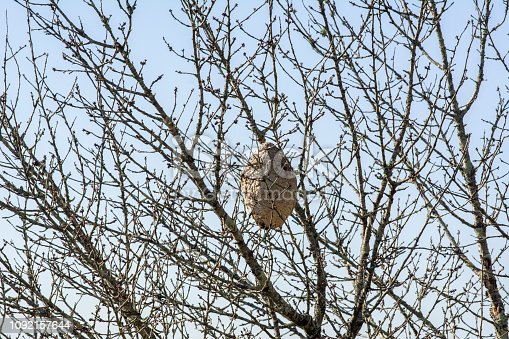 A huge Asian Hornet nest in a tree in Galicia, Spain
