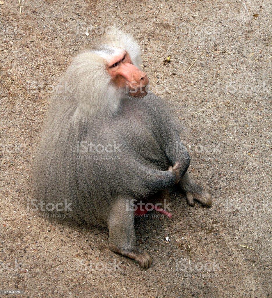 huge baboon stock photo