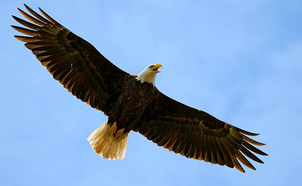Huge Bald Eagle Overhead, Wings Spread in Blue Sky stock photo