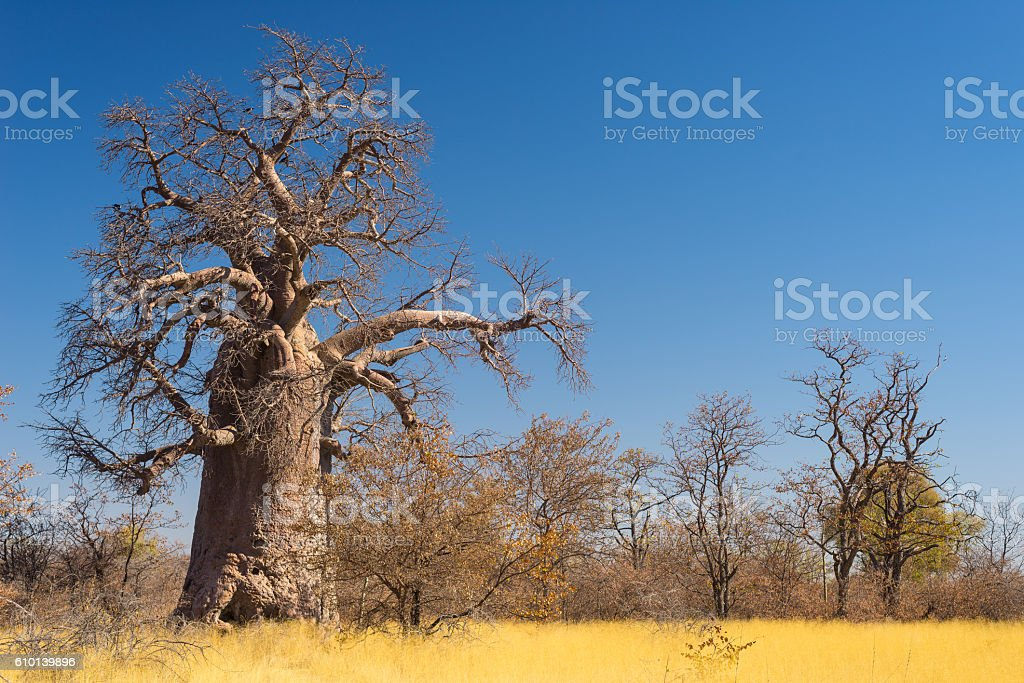 Huge Baobab plant in the african savannah stock photo