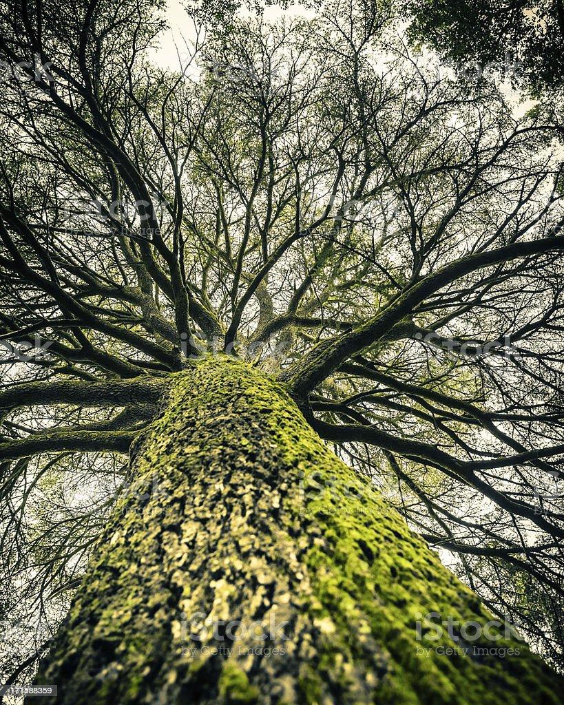Huge Bare Tree, Autumn Season stock photo