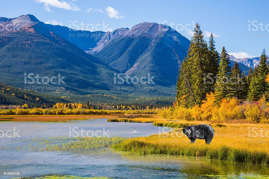 Huge black bear standing in the grass stock photo