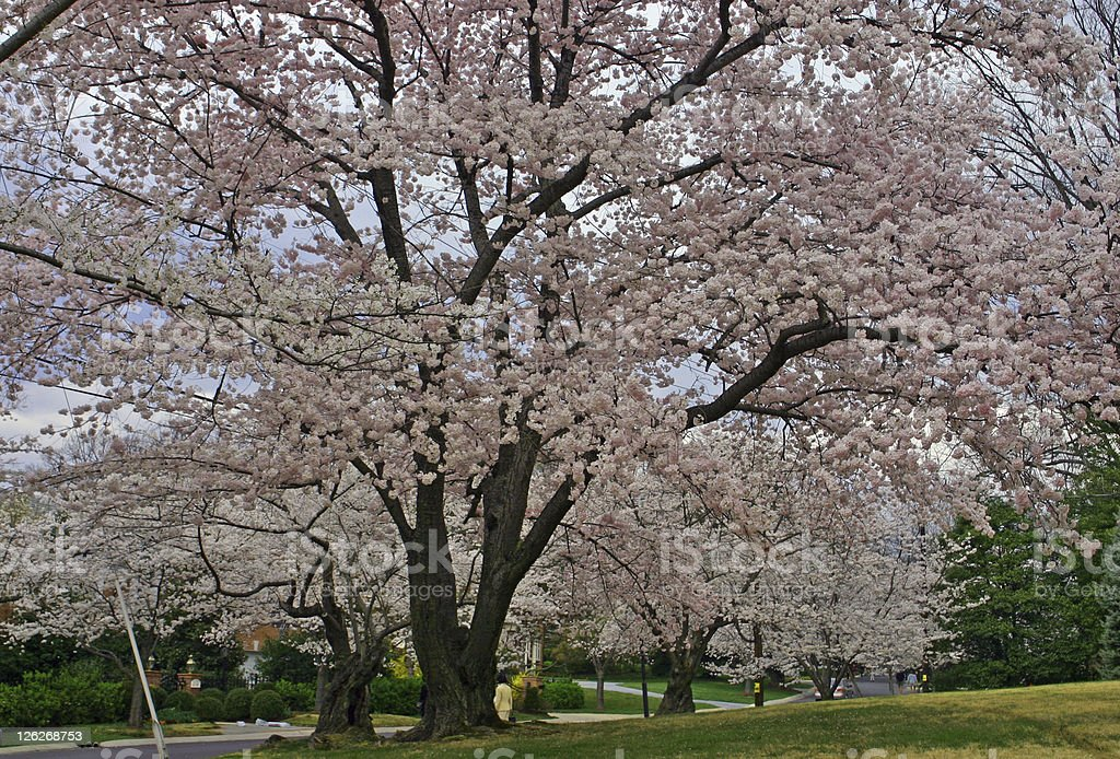 Huge blossoming cherry tree in spring time (USA) royalty-free stock photo