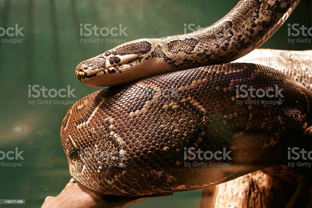 Huge Boa Constrictor snake in Jungle stock photo